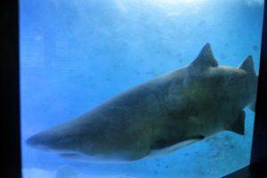 Tubarão no Aquário de Ubatuba
